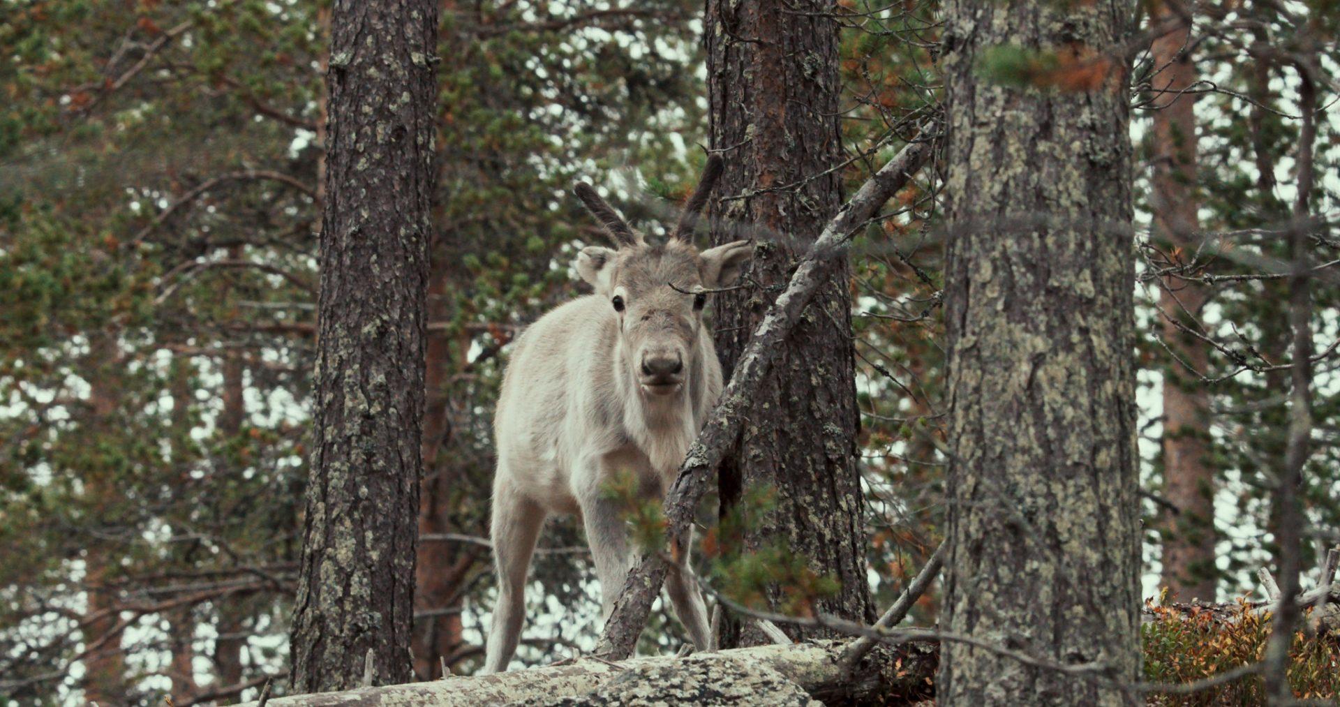 化身間諜馴鹿!耗時五年準備《鹿兒流浪記》完整記錄野生馴鹿遷徙生態